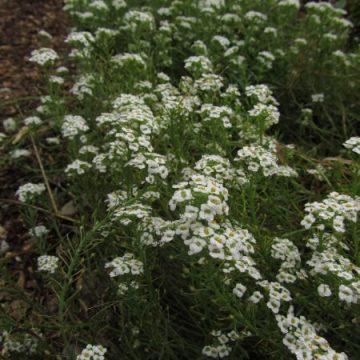 White Alyssum Flower Seeds