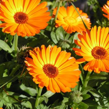 Orange Calendula Flower Seeds