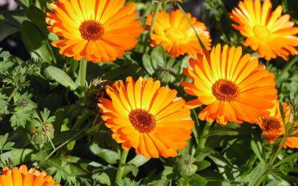 Orange Calendula Flower Seeds