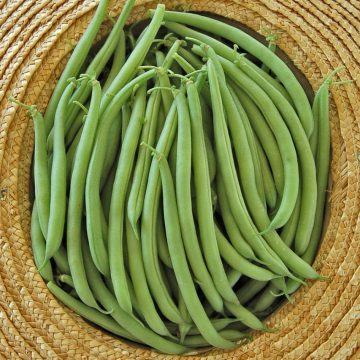 Provider Bean bush seeds