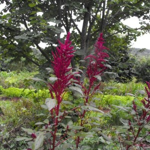 Amaranth Burgundy
