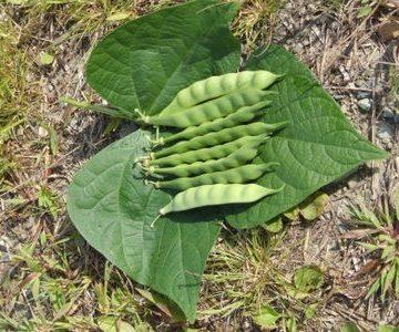 Aunt Adas Italian Bean Seeds