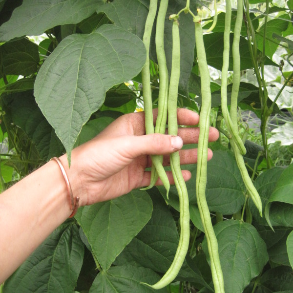 Fortex Pole Bean