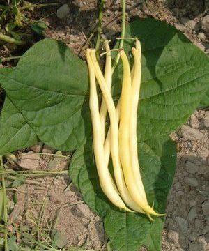 golden rocky bean seeds