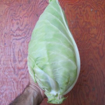 filderkraut green cabbage seeds