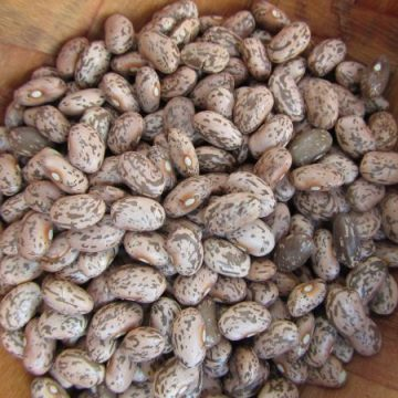 nodak pinto bean seeds