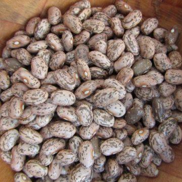 nodak pinto bean seeds
