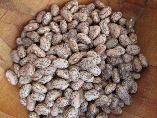 Nodak Pinto Bean Seeds 823 Turtle Tree Seed Initiative