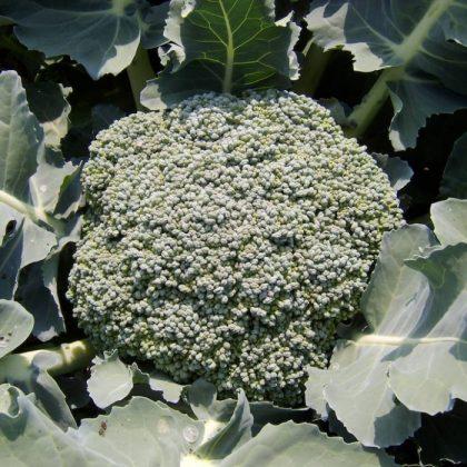 umpqua broccoli seeds