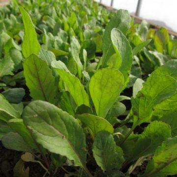 Arugula Salad Green Seeds