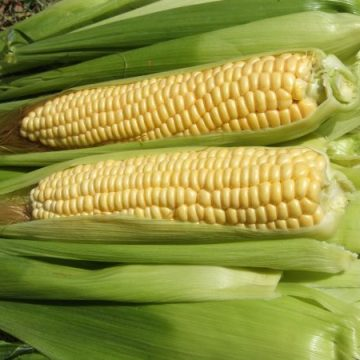 Ashworth Sweet Corn Seeds