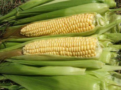 Ashworth Sweet Corn Seeds