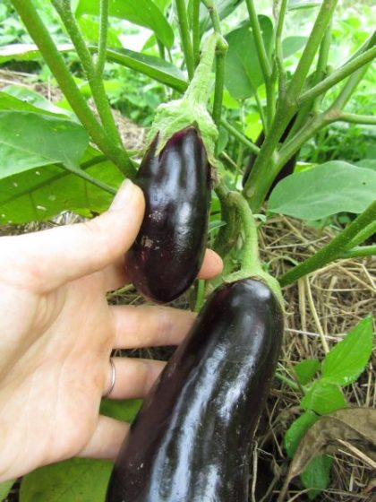 Black Beauty Eggplant Seeds