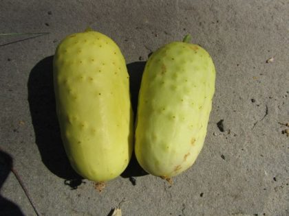 Boothby Blonde Cucumber Seeds