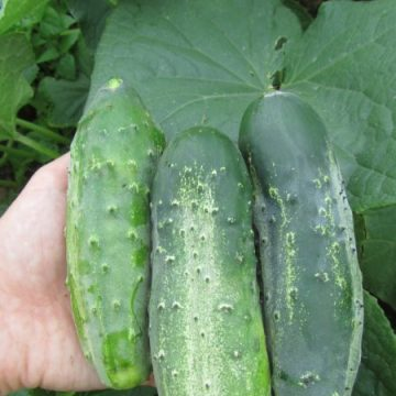 Boston Pickler Cucumber Seeds
