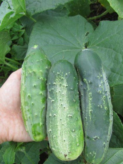 Boston Pickler Cucumber Seeds
