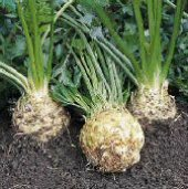 Brilliant Celeriac