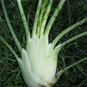 Fennel Perfektion