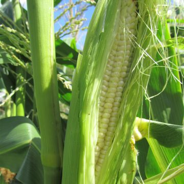 Harmony Sweet Corn Seeds