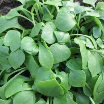Miners Lettuce Seeds