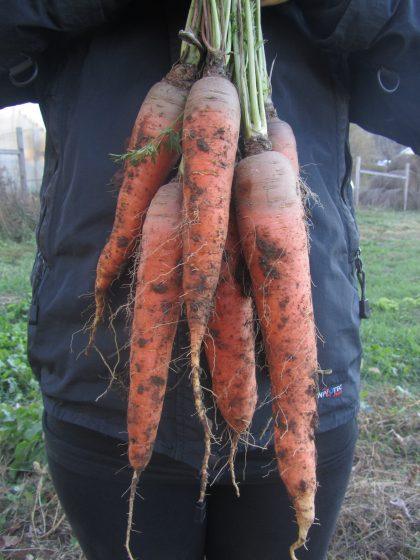 Rolanka Carrot Seeds