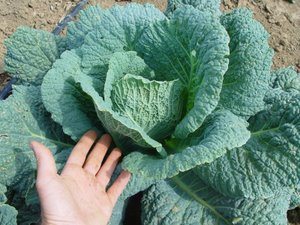 Winterfurst Savoy Cabbage Seeds