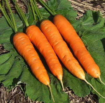 Milan Nantes Carrot Seeds