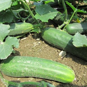 Marketmore 86 Cucumber Seeds