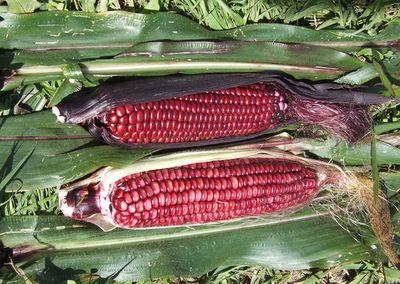Rose Potpourri Corn Seeds