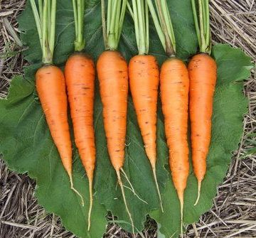 Rodelika Carrot Seeds