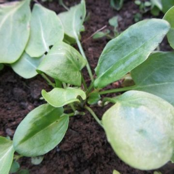 French Sorrel Greens Seeds