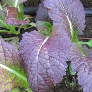 Giant Red Mustard
