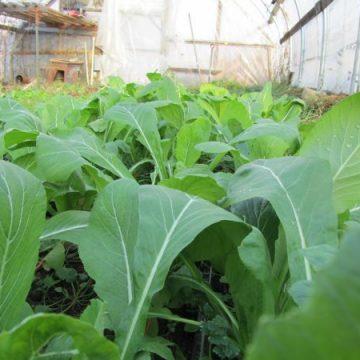 Komatsuna Mustard Green Seeds