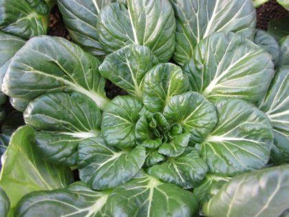 Tatsoi Asian Greens Seeds