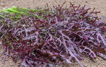 Rouge Metis Mustard Seeds
