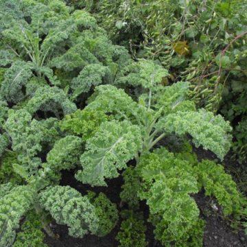 Curly Halbhoher Kale Seeds