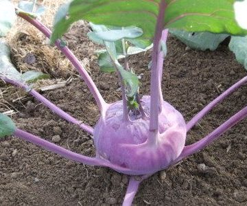 Azure Star Purple Kohlrabi