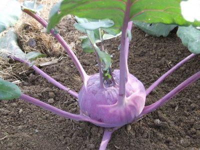 Azure Star Purple Kohlrabi