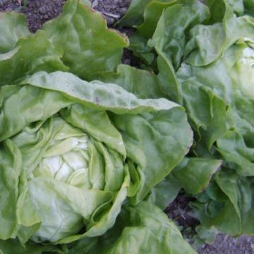 capitane butterhead lettuce seeds