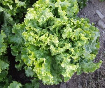 Green Ice Batavian Lettuce