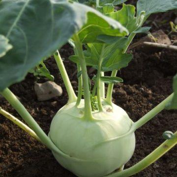 Lanro Kohlrabi Seeds