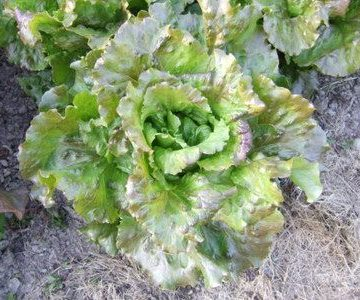 Slogun Batavian Lettuce Seeds