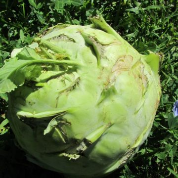 Superschmelz Kohlrabi Cabbage Seeds