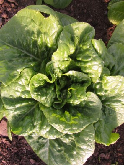 Winter Density Batavian Lettuce