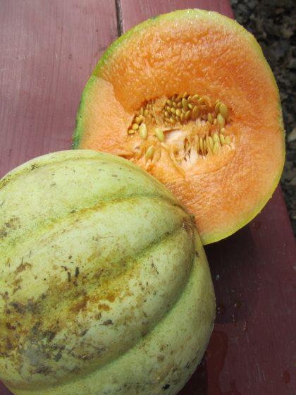 Charantais Cantaloupe Melon Seeds