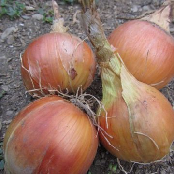 Clear Dawn Onion Seeds