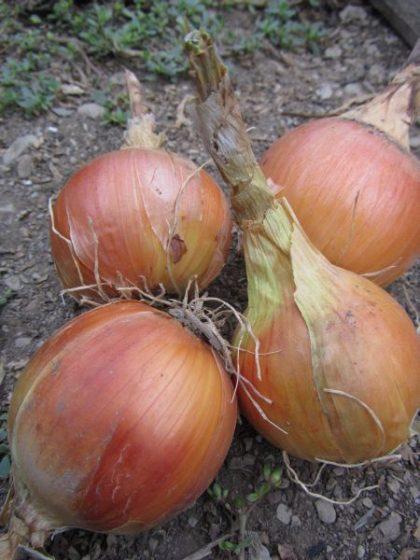 Clear Dawn Onion Seeds