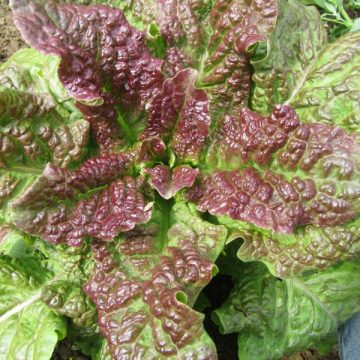 Heirloom Cracoviensis Lettuce Seeds