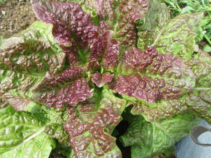 Heirloom Cracoviensis Lettuce Seeds