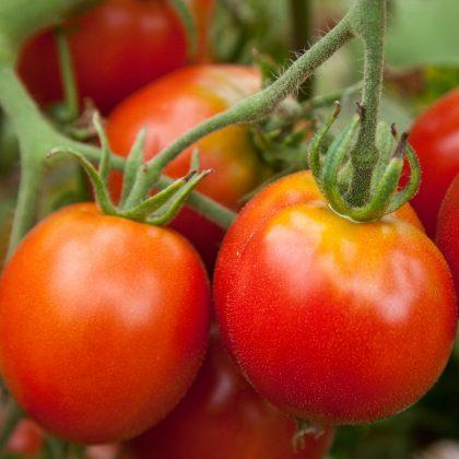 Biodynamic Glacier Tomato Seeds